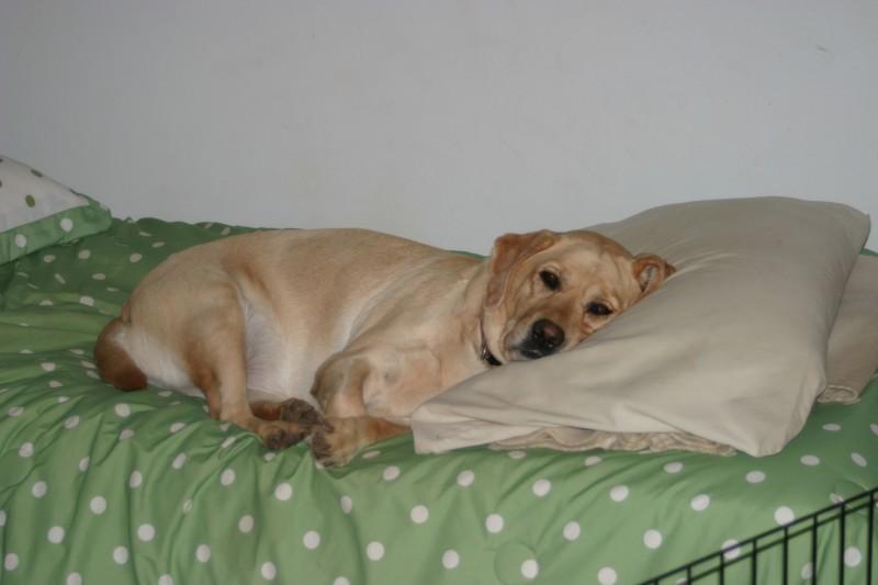Far salire il cane sul letto - Cane pipi letto ...