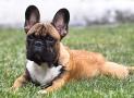 Bulldog Francese – Bouledogue français