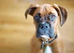 Coprofagia: il Cane che mangia la Cacca. Motivi e Soluzioni