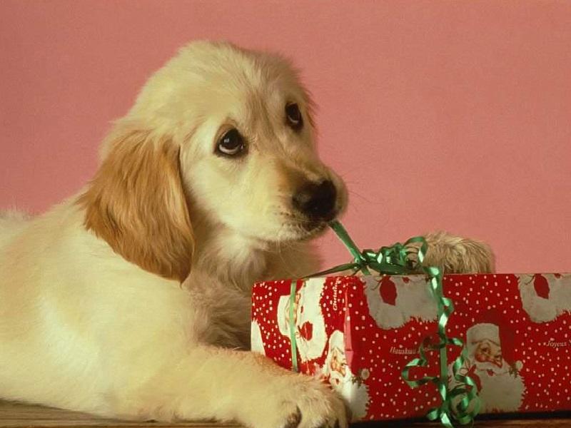 Perché è Sbagliato Regalare Un Cane