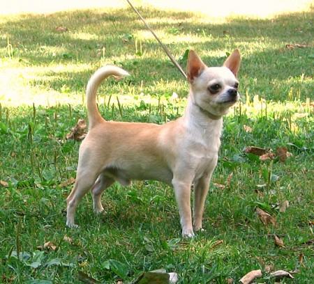 Chihuahuasmoothcoat