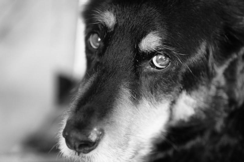 9 Segnali dell'invecchiamento del tuo Cane