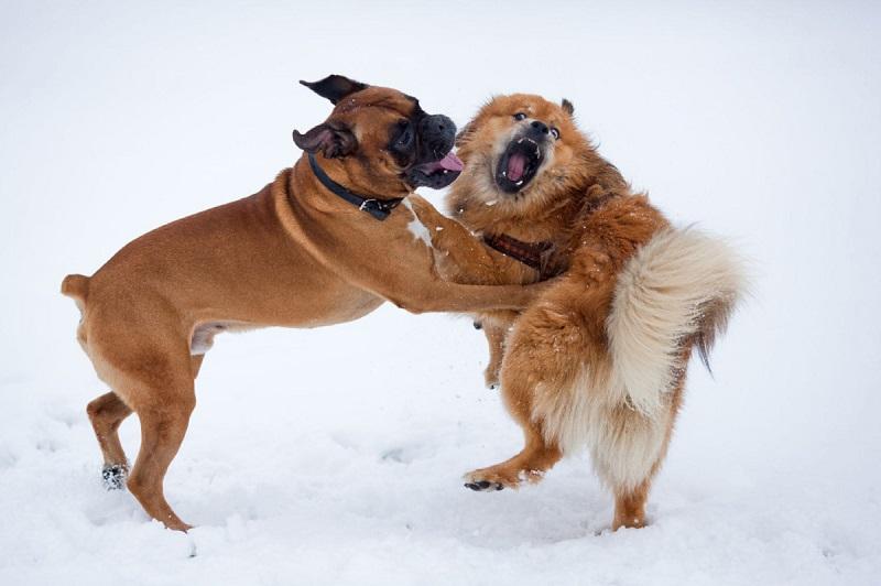 separare-cani-che-litigano