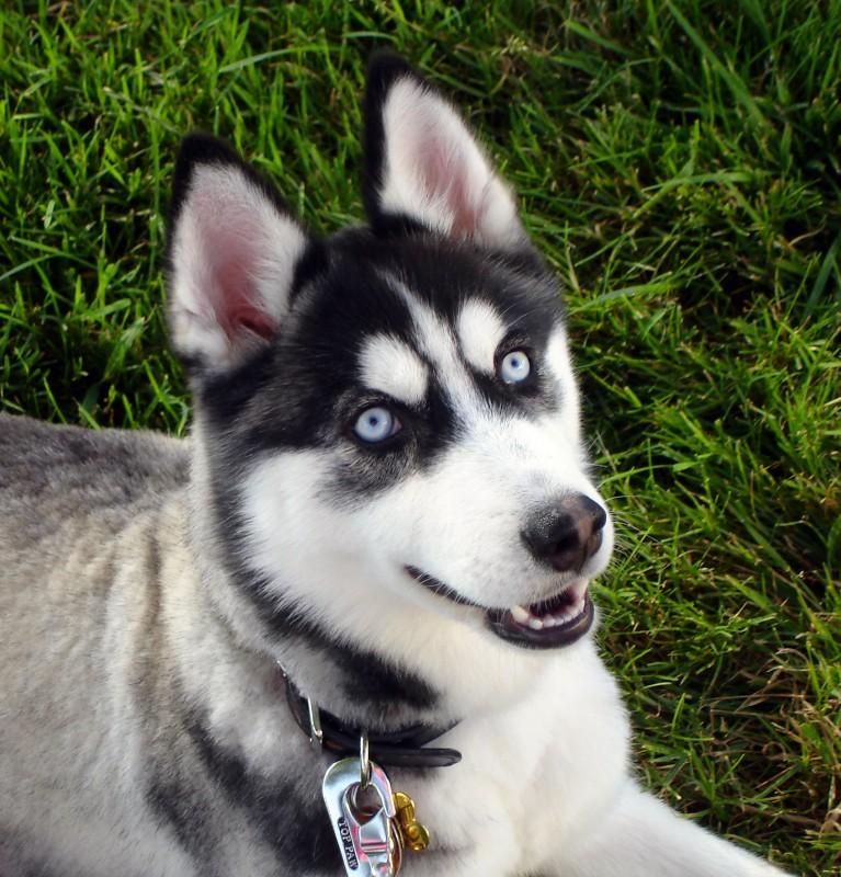 Siberian_Husky_blue_eyes_Flickr