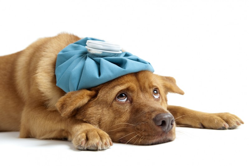 4 Malattie che i cani possono trasmettere all'uomo