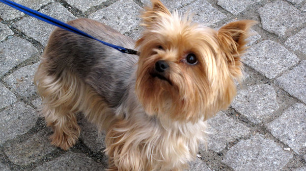 286692-yorkshire-terrier-yorkie-dog-good-generic-quality-image-creative-commons-image-from-wikipedia