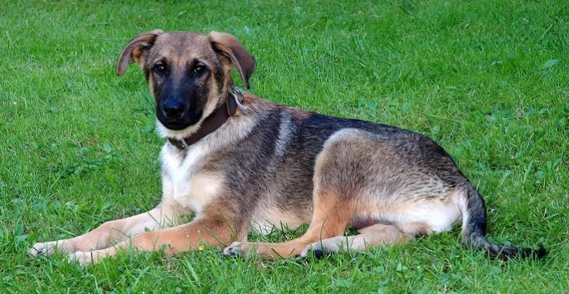 I meticci si ammalano meno dei cani di razza?