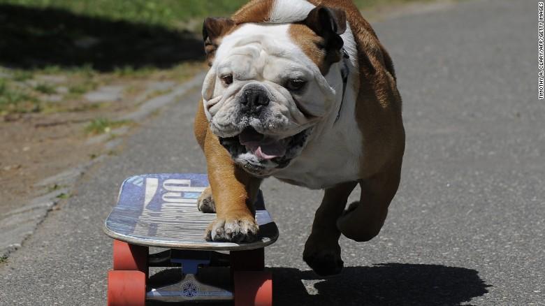 tillman-bulldog