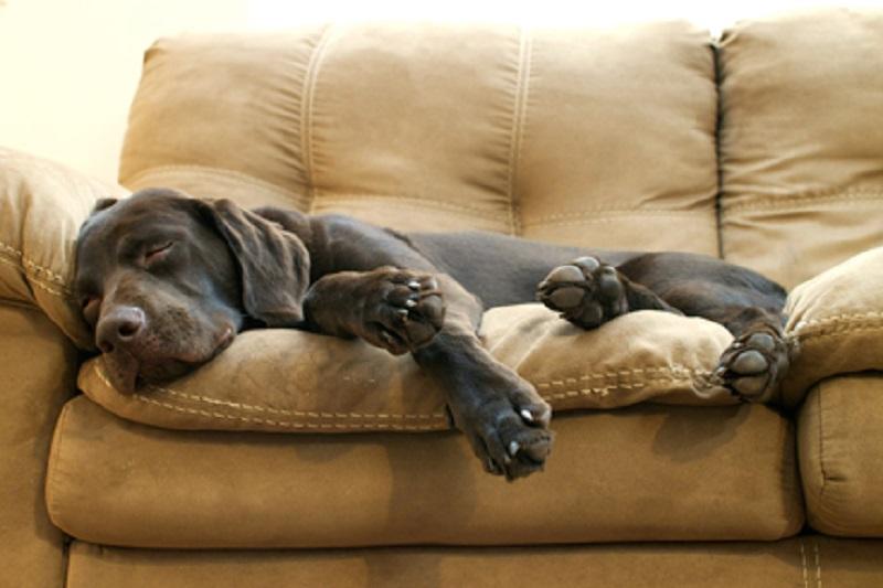 Perché il cane gira su se stesso o raspa prima di dormire?