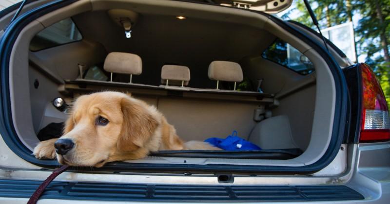 Il cane vomita in macchina: prevenire il mal d'auto