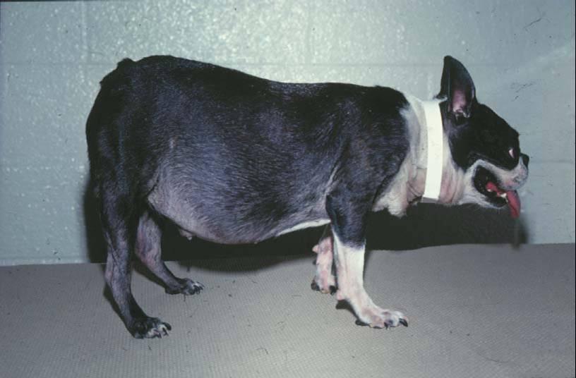Sindrome di Cushing nel cane: cause, sintomi e terapie