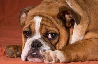 Cosa vuol dire quando il cane sospira (o sbuffa)? 3 ipotesi