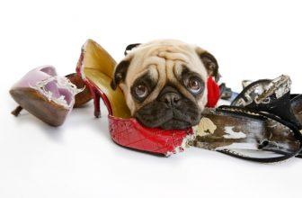 Perché i cani si divertono a masticare le scarpe dei loro umani?