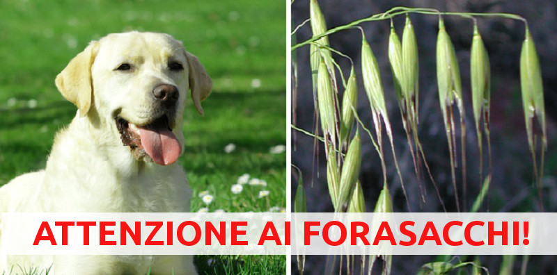 Forasacchi, pericolosissimi per il cane: massima attenzione!