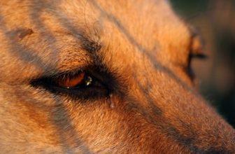 Come pulire gli occhi del cane