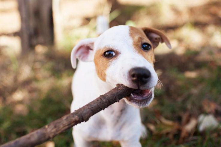 efe2834286d57b Bastoni e pezzetti di legno: un pericolo per i cani