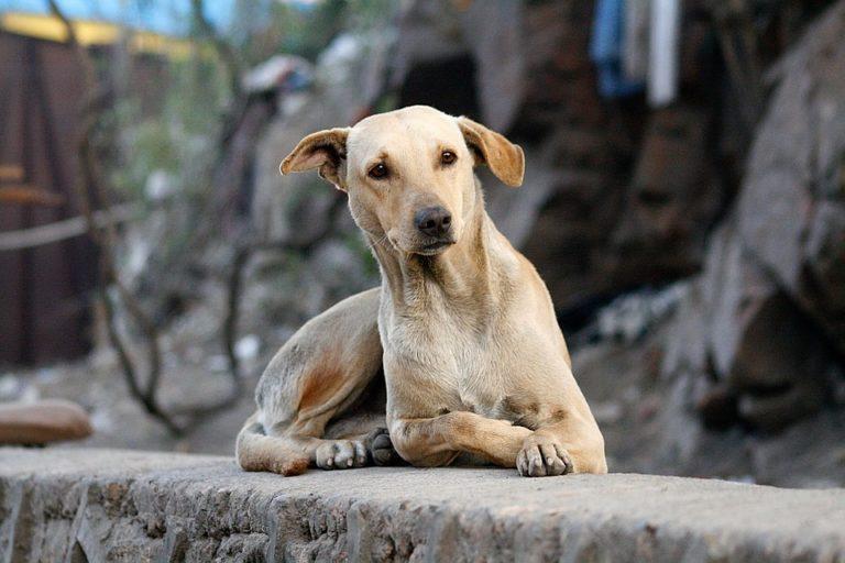 cane-orecchie