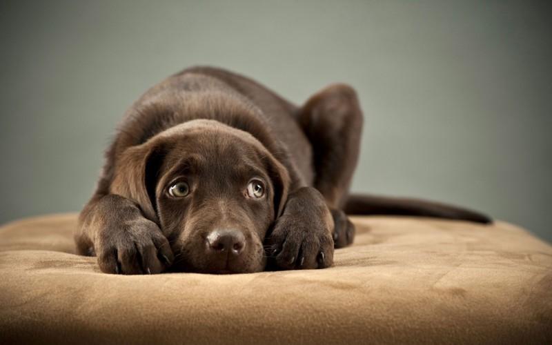 dolore-cane