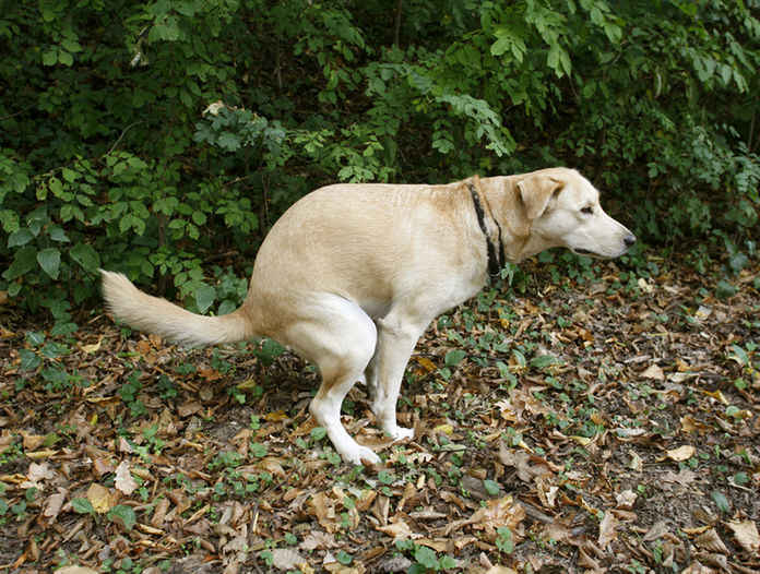 cacca-cane