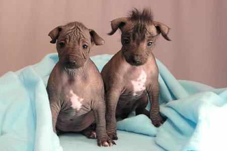 Xoloitzcuintle-cuccioli