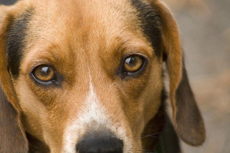 secrezione-oculare-cane
