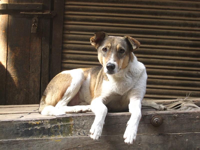 scabbia-cane