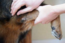 3 modi per guarire o prevenire i calli nel gomito del cane