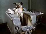 Il primo essere vivente nello spazio? Un cane, Laika.
