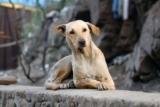 3 indizi di un'infezione alle orecchie nel cane
