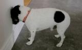 Il cane appoggia la testa contro il muro? Attenzione!