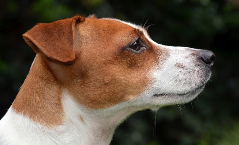 Jack russell terrier informazioni sulla razza for Carattere jack russel