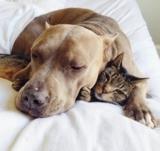 Pitbull che adorano i gattini