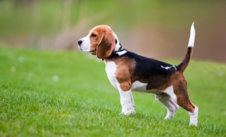 Beagle Informazioni Sulla Razza